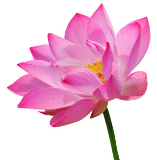 http://www.dreamstime.com/royalty-free-stock-image-pink-lotus-image21418066
