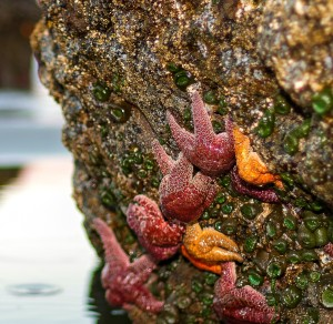 """""""Starfish on Oregon Coast,"""" based on a photo by Ivan McClellan; Flickr Creative Commons Attribution"""