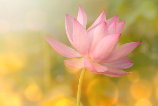 http://www.dreamstime.com/royalty-free-stock-images-lotus-image28895449