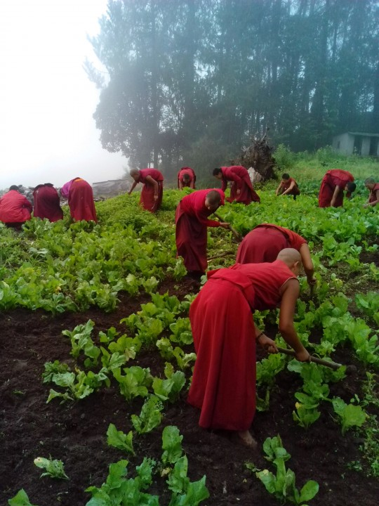 The Tashi Chime Gatsal nuns planting vegetables at the nunnery.
