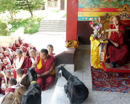 Lama Zopa Rinpoche blessing rescued goats at Kopan Monastery, Nepal