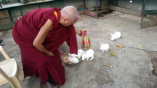 Lama Zopa Rinpoche blesses rabbits at Osel Labrang, Bylakuppe, India, December 2014. Photo by Ven. Roger Kunsang.