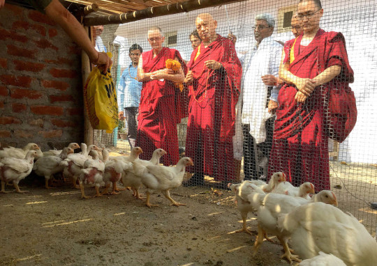 Lama Zopa Rinpoche spent time blessing the chickens at Root Institute, Bodhgaya, India, March 2015. Photo by Ven. Sarah Thresher.