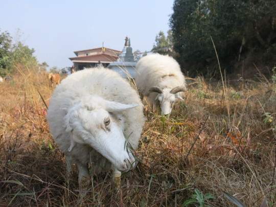 Resident sheep at Animal Liberation Sanctuary, Kopan, Nepal, January 2014. Photo courtesy of Phil Hunt.