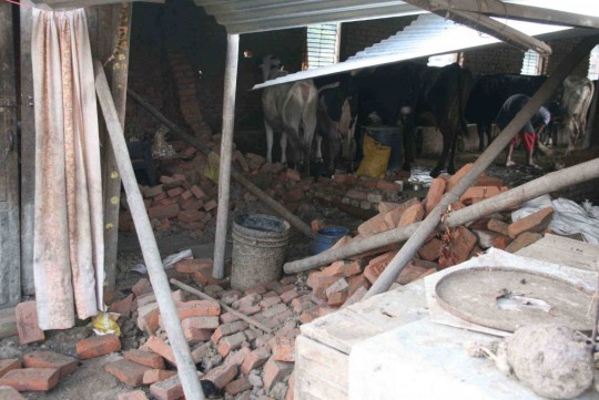 Dairy cows which survived the earthquake, Nepal, April 2015. Photo by Phil Hunt.
