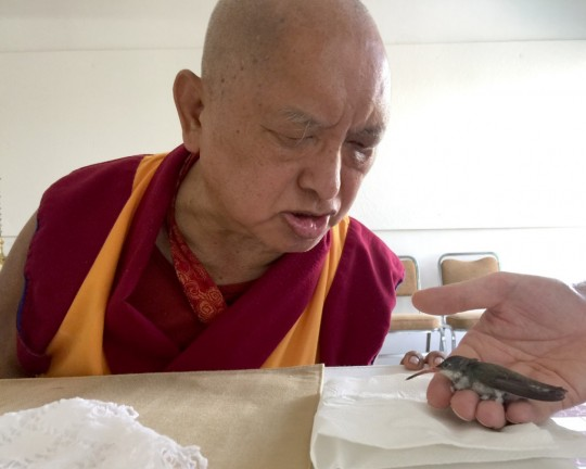 Lama Zopa Rinpoche blessing an injured hummingbird, which after a little while flew away, Mexico, September 2015. Photo by Ven.Roger Kunsang.