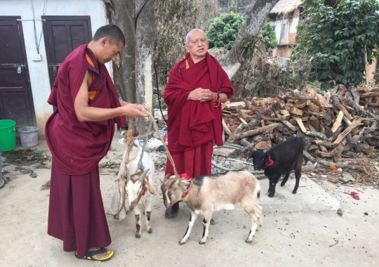 Lama Zopa Rinpoche and attedant Ven. Sangpo blessing newly rescued goats, Maratika, India, February 2016. Photo by Ven. Roger Kunsang.