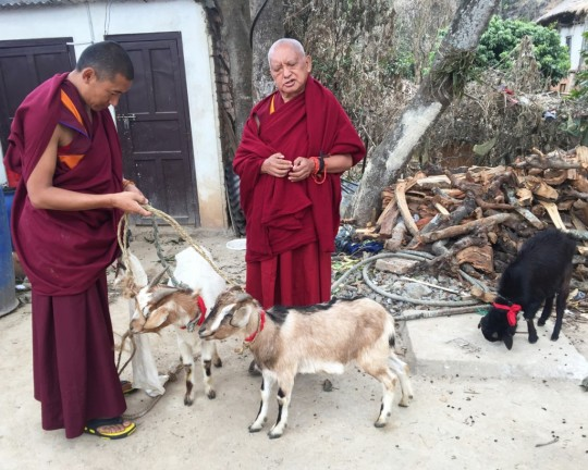 Lama Zopa Rinpoche with Ven. Sangpo liberating goats, Maratika Caves, Nepal, February 2016. Photo by Ven. Roger Kunsang.