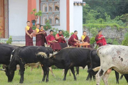 Bulls under the care of JAST receiving blessings.