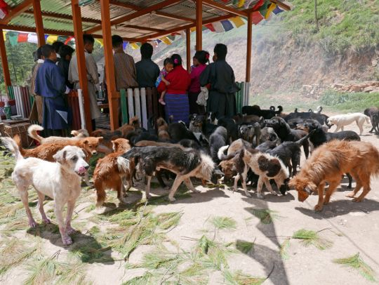 Dogs gathered at Jangsa Animal Saving Trust while Lama Zopa Rinpoche gave blessings, Bhutan, June 2016. Photo by Ven. Roger Kunsang.