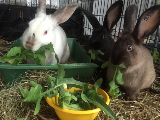 Dozens of volunteers helped rescue 140 rabbits, providing humane living conditions and exposing them to Dharma, Lincoln, Massachusetts, United States, September 2016. Photo courtesy of Wendy Cook.