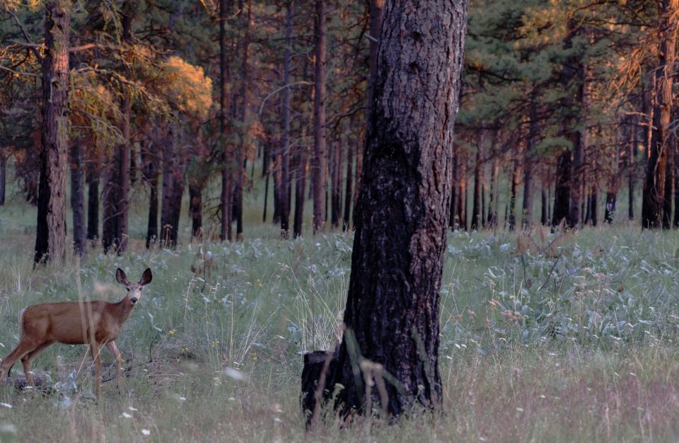 Deer at Buddha Amitabha Pure Land