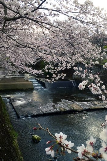 cherry blossom branches draped over a river.