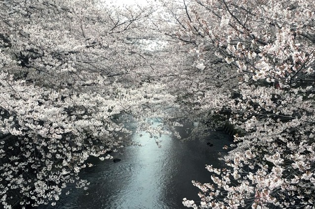 Cherry blossom trees on two sides of a river reaching over the water and meeting in the middle.