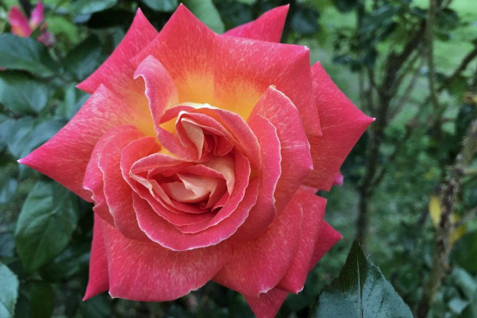 Peach pink colored rose with golden yellow closer to the center of the rose growing in the garden.