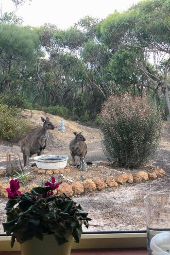 Two brown kangaroos near an artificial pool of water seen through a glass window.