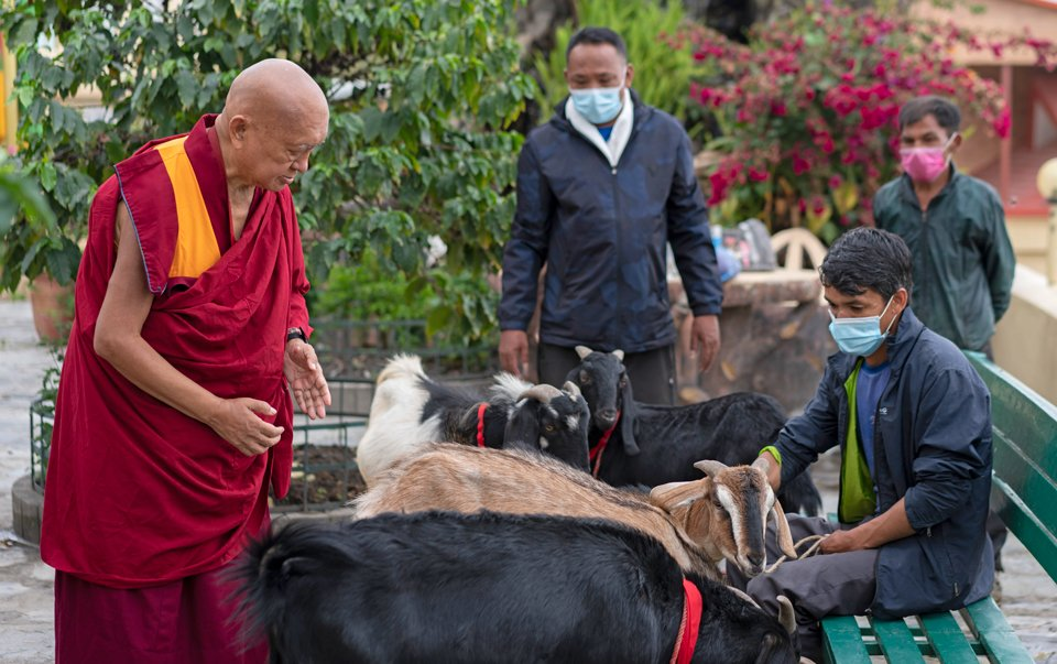 Lama Zopa Rinpoche blessing goats with red pieces of fabric tied around their necks