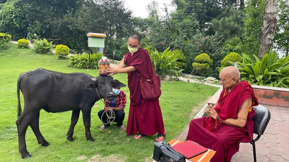 The buffalo stands while a monk places a blessing object over its head