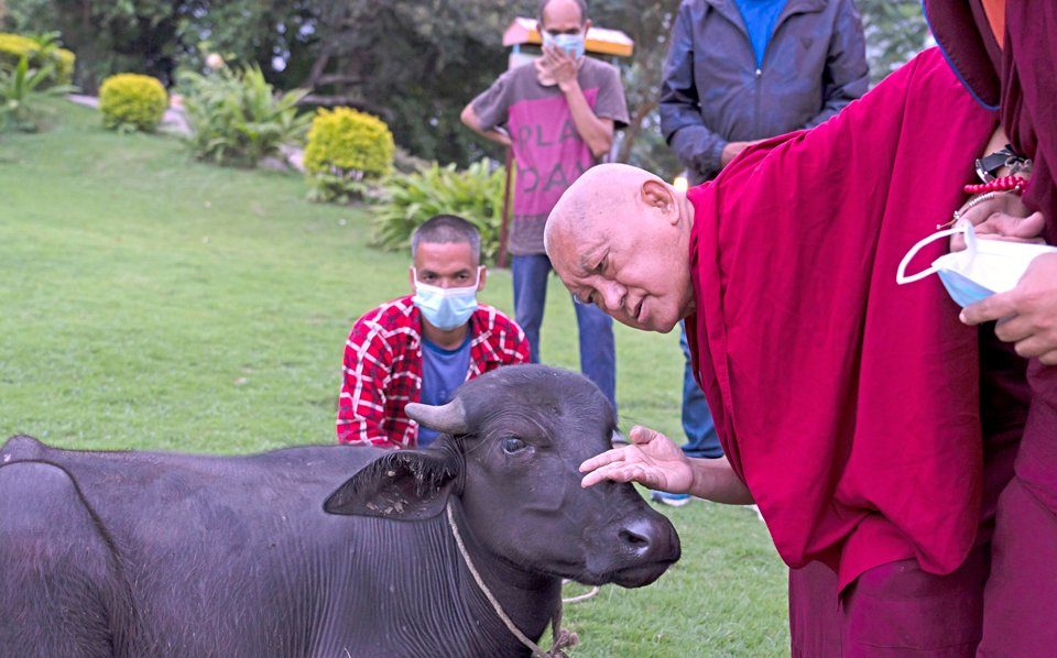 Lama Zopa Rinpoche lays a hand on the head of the buffalo to offer a blessing