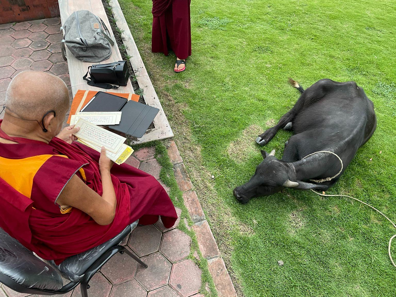 the buffalo on the ground while Rinpoche reads blessings to it