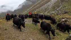 Yaks that were going to-be-killed in Rowaling Nepal