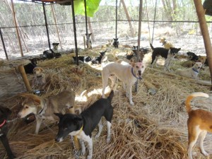 Post-operative ward for street dogs, Bodhgaya, India. Photo courtesy of MAITRI.