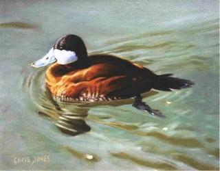 PAINTING of Ruddy Duck © Chris Jones www.chrisjonesart.com www.originalbirdart.com