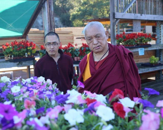 Lama Zopa Rinpoche choosing flower offerings for Kachoe Dechen Ling, California, September 21, 2013. Photo by Ven. Thubten Kunsang.