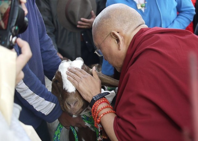 Lama Zopa Rinpoche blessing goat that he liberated, November 2010. Photos courtesy of Tania Duratovic and Phil Hunt.
