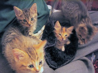 Kittens at a foster home, awaiting a new, permanent home