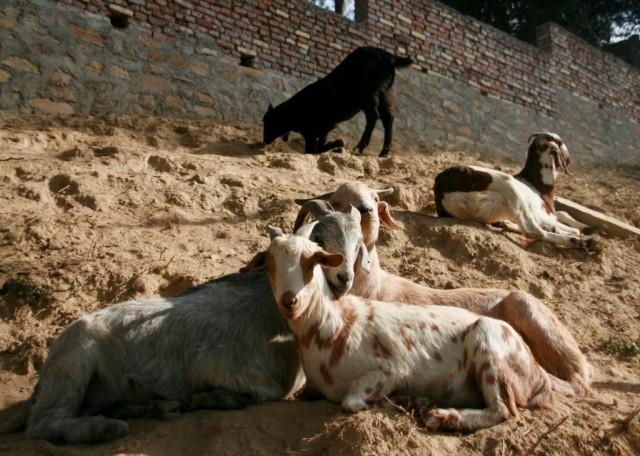 Rescued goats at Animal Liberation Sanctuary, Kopan Monastery, Nepal, November 2010