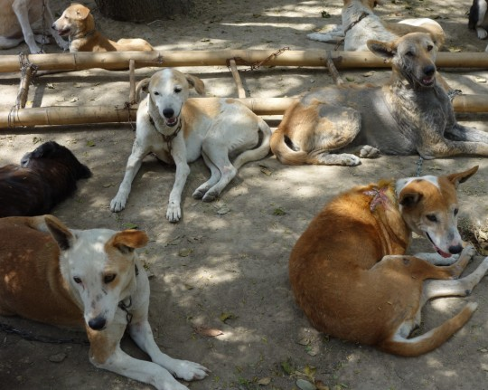 Dogs at MAITRI, Bodhgaya, India, March 2014. Photo by Ven. Roger Kunsang.