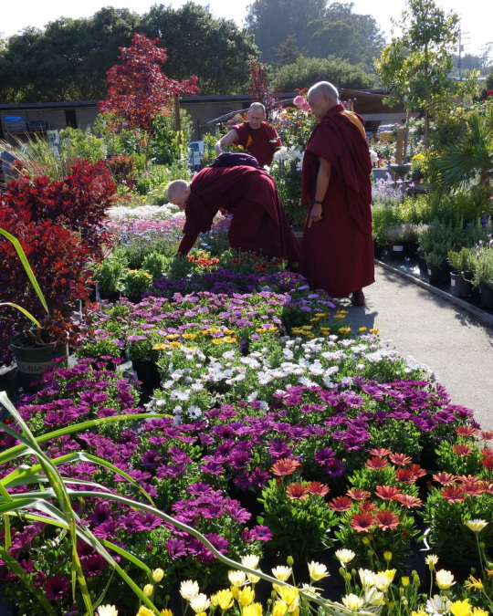 Rinpoche shopping for flowers for offering at Kachoe Dechen Ling, Aptos, California, May 2014. Photo by Ven. Roger Kunsang.