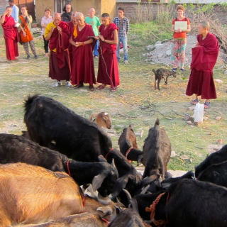 Lama Zopa Rinpoche blessing rescued goats, Bodhgaya, India, March 2014. Photo by Ven. Sarah Thresher.