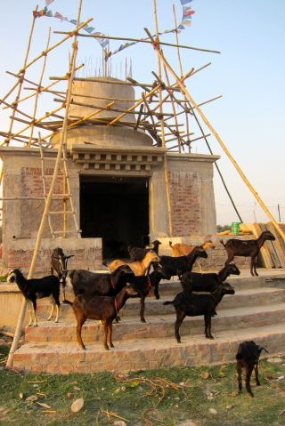 Root Institute has more than 20 goats that it cares for on its new stupa land, Bodhgaya, India, March 2014. Photo by Ven. Sarah Thresher.